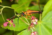 カエデノヘリグロハナカミキリ - Insect walk