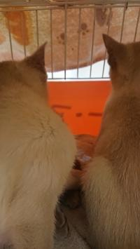 トンキニーズ子猫らーのワクチン - MINKWIN Cattery &Pretty Aki                    トンキニーズの店