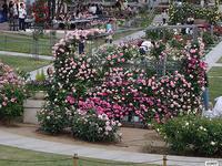 中之島公園に薔薇を見に行きました。2019/05/15 - 写真で楽しんでます! スマホ画像!