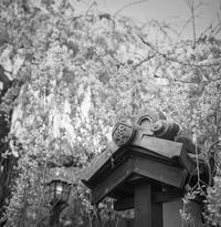 枝垂れ桜を引き立てる凛々し瓦 - Film&Gasoline