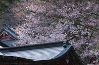 奥日光 中禅寺立木観音 桜 1 - photograph3
