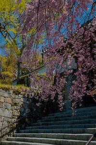 圧倒的桜。平成FINAL - 鏡花水月