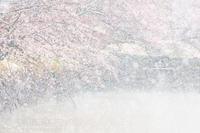 圧倒的桜。平成FINAL~桜で繋がろう~松本城編 - 野沢温泉とその周辺いろいろ2