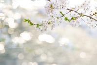 圧倒的桜。平成FINAL~桜で繋がろう~須坂市臥竜公園編 - 野沢温泉とその周辺いろいろ2