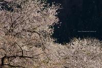 圧倒的桜。平成FINAL~桜で繋がろう~おいこっと編 - 野沢温泉とその周辺いろいろ2