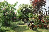 薔薇が色づき始めたお庭でロジャーがフライング^^;(5月10日) - Reon with LR & Roses