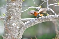 春は、初物づくしで・・・コマドリ。 - 野鳥のさえずり、山犬のぼやき