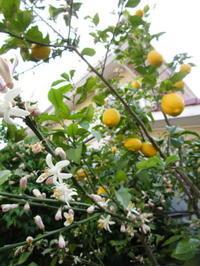 レモンの花が…! - モルゲンロート