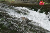 若いカワガラスの滝登り - 近隣の野鳥を探して