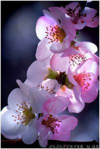 春はここに(9) - ぶらぶらデジカメ写真 by はる