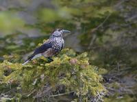 お山のホシガラス2019 - トドの野鳥日記