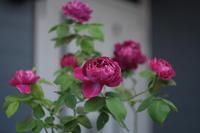 My Rose - aya's photo