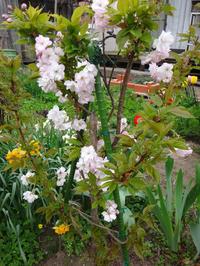 庭の小さな八重桜、ツツジ、庭桜、ひとりで育った花桃など♪ - 窓の向こうに