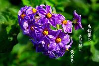 馬鈴薯花が - 霧島メジロのデジカメ日記