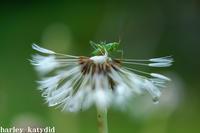 キリギリスの幼虫 - harley-katydid