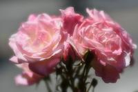 ヴェルニー公園薔薇 - 素顔のままで