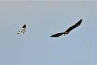 果敢に立ち向かう・・・ケリさんの家族愛 - 鳥と共に日々是好日