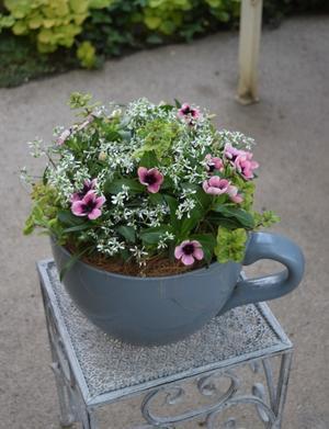 ティーカップ型の鉢にニチニチソウを -