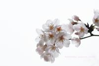sakura memories ~special spring~ part 1 - 気の向くままに…