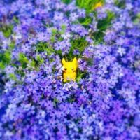 芝桜やたんぽぽ京都府立植物園 - 行く当てのない言葉