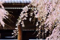 圧倒的桜。平成FINAL - 陽だまりベンチ+me