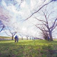 Accumulation of light -圧倒的桜。平成FINAL 1- - jinsnap(weblog on a snap shot)