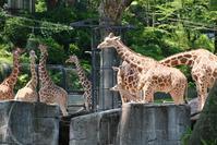 キリンの赤ちゃん生後0日 - 動物園に嵌り中