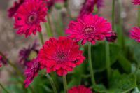 真っ赤なガーベラ - あだっちゃんの花鳥風月