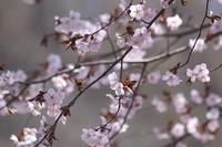 令和の桜③(桜峠 2019.5.3-4) - 風の中で~