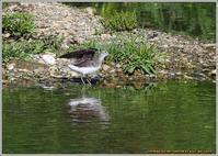 クサシギが川原に飛着 - 野鳥の素顔 <野鳥と日々の出来事>