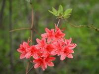 初夏の森の植物たち - 八ヶ岳 革 ときどき くるみ