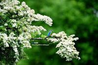 ピラカンサの花にカワセミ - azure 自然散策 ~自然・季節・野鳥~