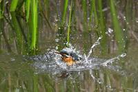 カワセミメスの水浴び - 旅のかほり