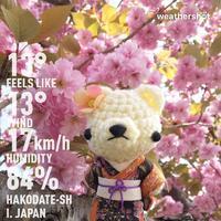 [ぬい撮り] 石崎地主海神社の桜とあみぐるみ着物くまちゃん♪ - Smiling * Photo & Handmade 2 動物のあみぐるみ・レジンアクセサリー・風景写真のポストカード