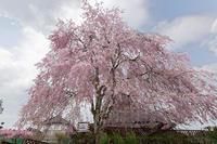 桜巡り2019@京北上中公民館 - デジタルな鍛冶屋の写真歩記