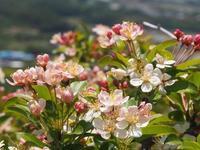 5月中旬の世界の桜の園 - 弓張放浪