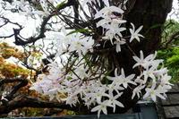 我が家の花セッコク咲く - 風の便り