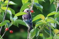 コムクドリ② オスの背中 - 気まぐれ野鳥写真