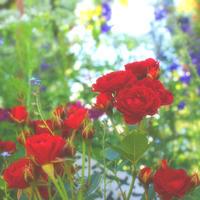 ゆらめく。精霊目線の薔薇園 - poem  art. ***ココロの景色***