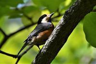 新緑の中、鳥と昆虫と・・・ - 鳥と共に日々是好日