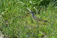 至近距離でキアシシギさん - 鳥と共に日々是好日