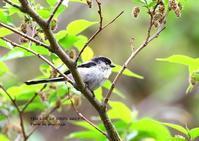 チョウセンエナガは、韓国中部と南部、対馬、隠岐諸島、佐渡島に分布 - THE LIFE OF BIRDS ー 野鳥つれづれ記