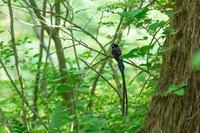 今年もサンコウチョウに出会えました - ひとり野鳥の会