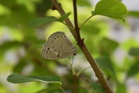 ウラゴマダラシジミ5月18日 - 超蝶