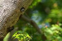 コゲラ05月11日 - 旧サンヨン野鳥撮影放浪記