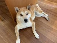 (柴犬)フィラリア予防 2019 - Macと日本酒とGISのブログ