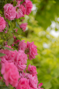 Dramatic rose 1 - 気ままにお散歩