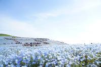 ひたち海浜公園ネモフィラ - 花と旅の香り