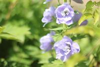 青い花たち - my small garden~sugar plum~