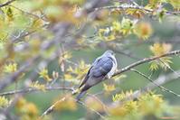 北の桜と(3)・・・ツツドリ。 - 野鳥のさえずり、山犬のぼやき